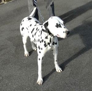 Harmonie (Née à l'élevage de la petite vallée des chiens) - reproductrice Dalmatien